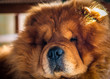 red fluffy dog breed chow chow lies on the floor