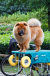 Lovely brown Chow Chow dog.